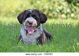 Portuguese Water Dog Non Shedding by A Brown And White Portuguese Water Dog Wearing A Collar And Tags