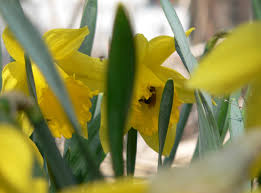 plant hardy bulbs now for early pollinators yard and