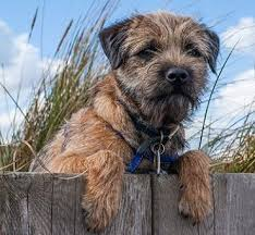 Border Terrier Non Shedding by Border Terrier Dog Breed Information Guide With Pictures