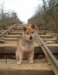 Do Shiba Dogs Shed by Shiba Inu Appearance My First Shiba Inu