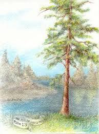 Drawn pine tree tree colored 8