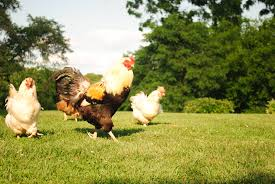 The Ragged Feathers of Summer 7 causes My Pet Chicken Blog
