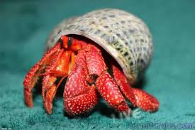 Do Hermit Crabs Shed Their Whole Body by Pre Order Strawberry Hermit Crab Coenobita Prelates Hermit