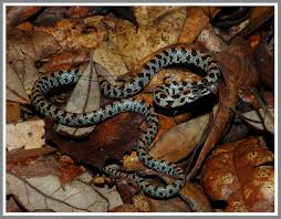 Short-tailed Kingsnake | Florida Backyard Snakes Backyard Snakes Effective Wildlife Solutions Snakes And Beyond 65 Best Know Them Images On Pinterest Georgia Of Louisiana Department Fisheries Southern Hognose Snake Florida Texas Archives What Is That 46 The States Slithery Species Nolacom Scarlet Kingsnake Cottonmouth Eastern Living Alongside Idenfication Challenge The Garden Or Garter My Species List New Engdatlantic