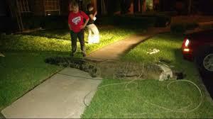 Pumpkin Patch Farm Katy Tx by 12 Foot Gator Captured In Katy Neighborhood