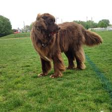 Do Newfoundlands Shed Hair by The Fluff Was Intense After His Morning Brushing Aww