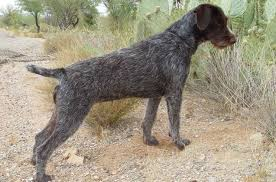 german shorthaired pointer shed german wirehaired pointer