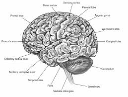 Brain Diagram Labeled Black And White 17 Best Ideas About Human