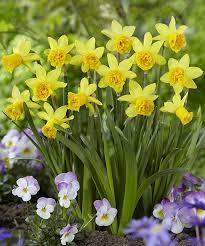 82 best daffodils images on daffodils daffodil bulbs