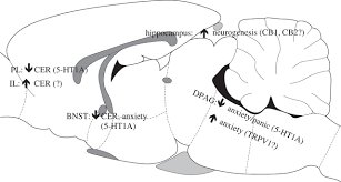 Bed Nucleus Of The Stria Terminalis by Review Cannabidiol And Psychiatric Disorders Philosophical