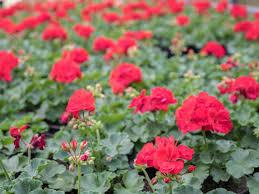 geranien balkonpflanzen richtig pflegen und überwintern