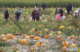 Pumpkin Picking Richmond by Visitors Pick Pumpkins At Richmond Country Farms In Canada
