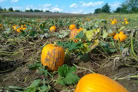 Pumpkin Patch Indiana County Pa by Pick Your Own Pumpkin Patches In Missouri Funtober