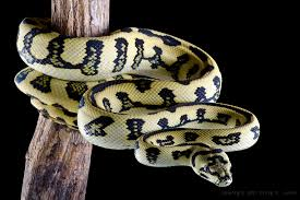 Coastal Carpet Python Facts by Výsledek Obrázku Pro Jaguar Carpet Python Hadi Nezvyklá