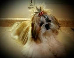 Shih Tzu Lhasa Apso Shedding by Akc Shih Tzu Puppies In Hoobly Classifieds