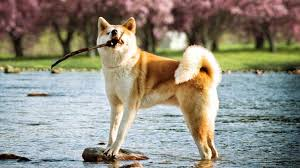 do haired akitas shed 9 dogs that look like huskies barking royalty