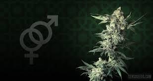 Cannabis strain focus Northern Lights from Sensi Seeds