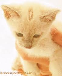 signs of worms in cats worms in cats symptoms diagnosis and treatment