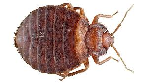 Do Carpet Beetle Bite by Bed Bug Imposters How To Identify Bed Bugs