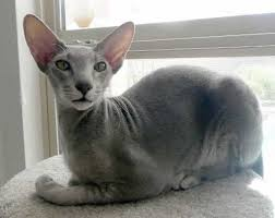 hairless cat price top 5 of most expensive cats in the world cats around the globe