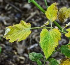 Tulsa World Pumpkin Patch by Master Gardener Spider Mites Are Difficult To Control Problem In