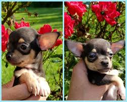 100 Where Is Chihuahua Located Tcup Puppies In Johnson City Tennessee Hoobly