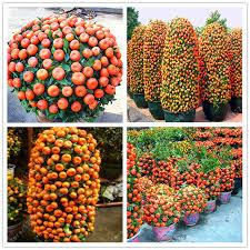 20pcs Bag Orange Seeds Climbing Tree Seed Bonsai Organic Fruit Like A Christmas