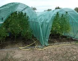 recolte cannabis exterieur date forcer la floraison de votre cannabis en extérieur biotops biz