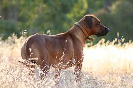 Rhodesian Ridgeback Puppy Shedding by African Dogs Shed Light On Civilization Everything Dog At Alpine