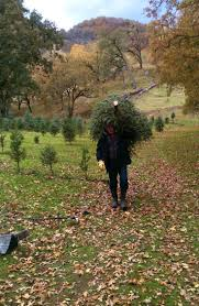 Leyland Cypress Christmas Tree Farm by 144 Best Christmas Trees Images On Pinterest Christmas Tree Farm