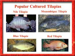 3 Nile Tilapia Mozambique Blue Red Popular Cultured Tilapias