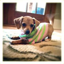 Do Long Haired Chiweenies Shed by Fifi Our Chiweenie Puppy Ready For Take Off Funky Pop Dogzzz