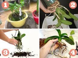 rempoter une orchidée techniques et conseils