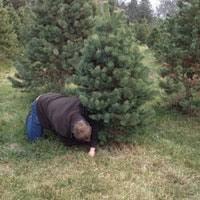Elgin Il Christmas Tree Farm by Honeybee Acres Christmas Tree Farm 41w072 Bowes Rd