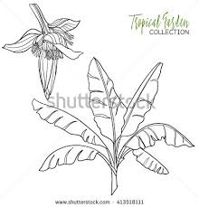 Banana Palm Tropical Plant Vector Illustration Coloring Book For Adult And Older Children