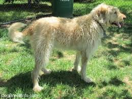 Irish Wolfhound Non Shedding by Labradoodle Dog Breed Information And Pictures