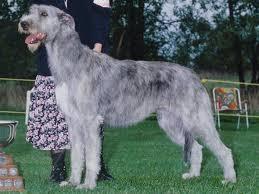 Irish Wolfhound Non Shedding by Dogs Purebreddog Ca For The Love Of Purebred Dogs