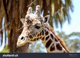 West African Giraffe Head Close Up