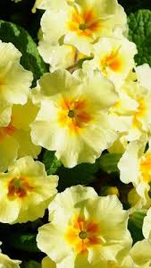 Primroses in Spring Yellow Pinterest