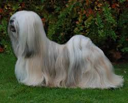 My Lhasa Apso Is Shedding Hair by 207 Best Lhasa Apso Images On Pinterest Lhasa Apso Doggies And