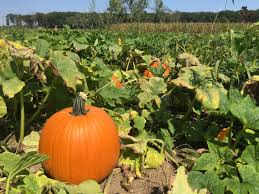 Clarence New York Pumpkin Farm by Stanton U0027s Feura Farm And Markets