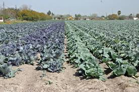 Rio Grande Valley Vegetable Crops Earning Top Dollar | AgriLife Today