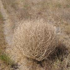 Tumbleweed Christmas Tree Pictures by The Texas Tumbleweed Christmas Tree The Spicy Texan