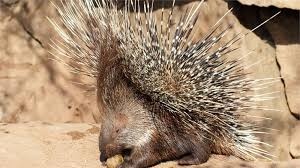 Porcupine Eating A Pumpkin Youtube by Iguana Vs Snakes Animals National Geographic Channel