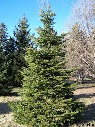 Types Of Christmas Trees To Plant by Pinaceae U2013 North American Insects U0026 Spiders