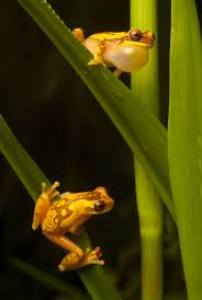 348 Best Animals: Frogs Images On Pinterest | Nature, Lizards And ... Ohios 15 Species Of Frogs And Toads At A Glance Trekohio 13 Illinois Toads Frogs Midwestern Plants A Container Pond To Host Fish I Want Make One With How Raise Pictures Wikihow Utah Division Wildlife Rources Focus On Long Legged Cute Sitting Couple Cartoon Style Garden The Frog Pond Coach Michele Motorbike Frog Wikipedia Shop 145in Statue Lowescom