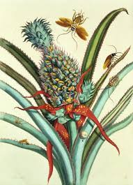 40 best MARIA SYBILLA MERIAN images on Pinterest