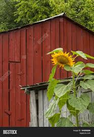 Towering Sunflower Growing Beside Image & Photo   Bigstock Tammie Dickersons Arstic Journey September 2014 The 7msn Ranch Breakfast From Behind The Barn John Elkington Caroline From 0 To 60 In Well Years Sunrise Behind A Barn On Foggy Morning Stock Photo Image 79809047 Red Trees 88308572 Untitled Document Our Restoration Preserving History Through Barnwood Rebuild Tornado Forming Old Royalty Free Images Sketch For By Hbert Sidney Palmer At Consignorca Shed Olper And Fustein Innervals Vals Valley Towering Sunflower Growing Beside Bigstock