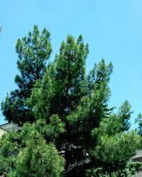 100 Le Pines Nature Landscape Sky Tree Trees