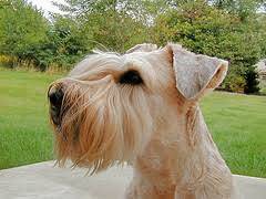 Do Wheaten Terriers Shed by List Of Hypoallergenic Dogs Hypo Allergenic Dog Breed Low